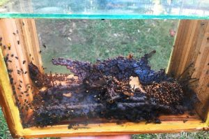 Micro colonies of stingless bees